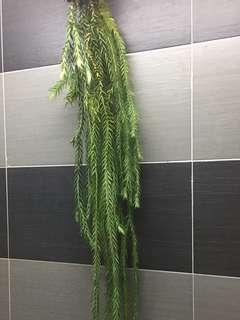huperzia goebelii for sale