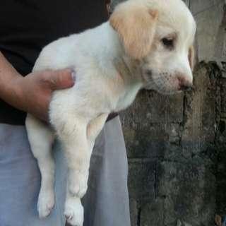 Labrador mix golden retriever puppy