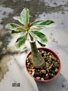 Spotted leave Adenium plant