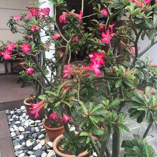 Desert rose plant (富贵花)
