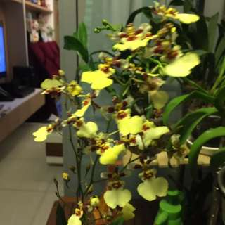 Oncidium Dancing Lady Yellow/brown orchid