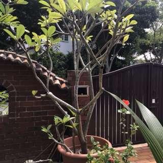 Frangipani tree in pot