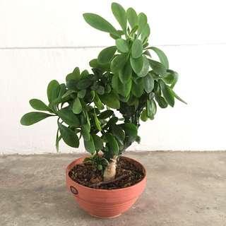 Cactus - Euphorbia