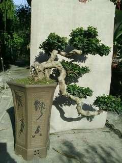 Kesinai bonsai dengan pasu hiasan..pokok cukup sihat.cod relau penang.postage not included