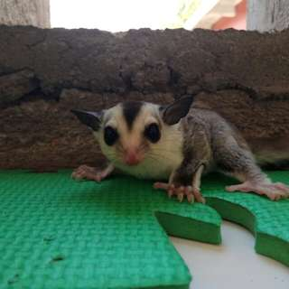 Sugarglider Whiteface