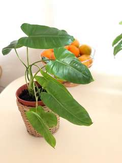 Philodendron 'Burle Marx' Potted Plant
