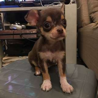 Pure chihuahua 2 months old