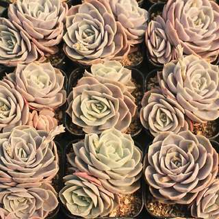 😍RARE SUCCULENTS: V017 - Echeveria Blue Surprise Pair (FIRST COME FIRST SERVE! VERY LIMITED STOCKS!)😱