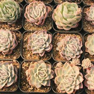 😍RARE SUCCULENTS: V020 - Echeveria Elegans (FIRST COME FIRST SERVE! VERY LIMITED STOCKS!)😱