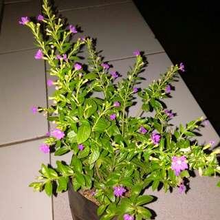 Tanaman hias taiwan beauty / Pohon bunga taiwan beauty
