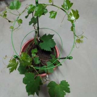 Red Globe grape young plant