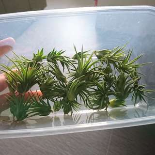 Airplant babies