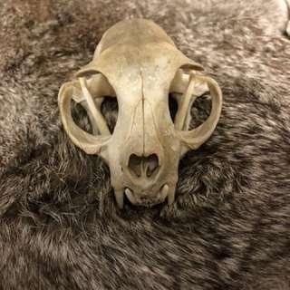 真正貓頭骨骼標本 頭骨