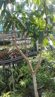 Pokok Mempelam Gajah Merah..tinggi 7 kaki lebih.
