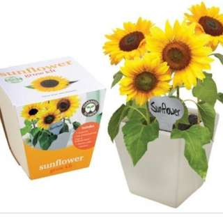 Grow a sunflower kit