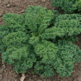 Green Curly Kale 'Kapral' (Brassica Oleracea L.) Vegetable Heirloom, 520-620 Seeds