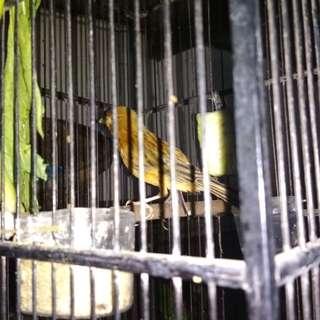 Burung Kenari + Kandang