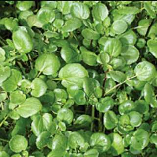 Watercress Vegetable Seeds
