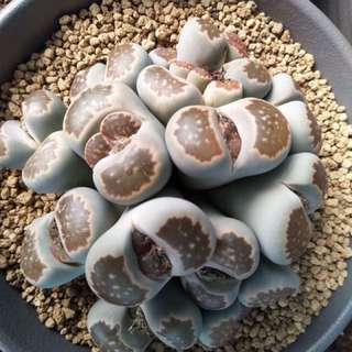 Living stones Mother Plant