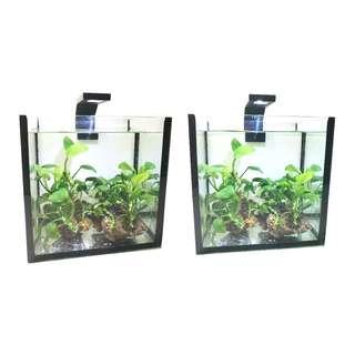 Anubias Nana for Planted Tank Aquarium
