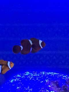 Selling maroon clowfish