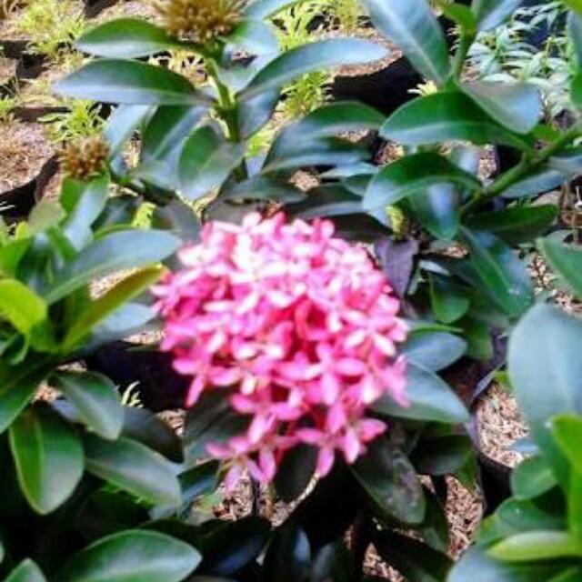 Bibit Tanaman Bunga Soka Jambon Poink Pohon Soka Jambon Tanaman Bunga Perkebunan Di Carousell