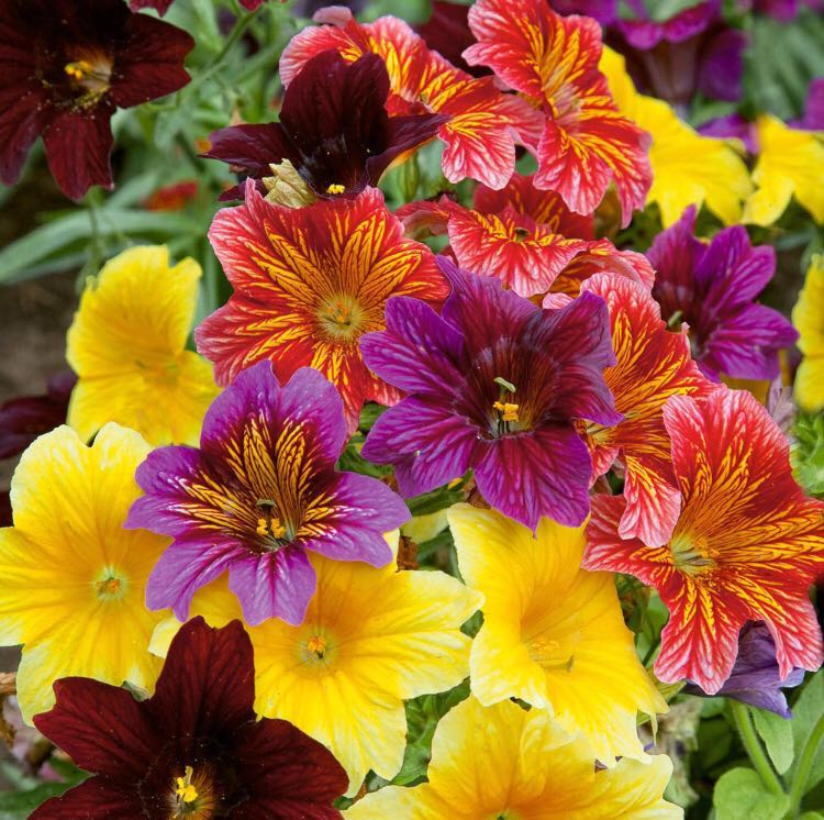 Salpiglossis Sinuata/Painted Tongue Mix Colour Seeds