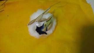 White centipede Pearl @geliga lipan putih