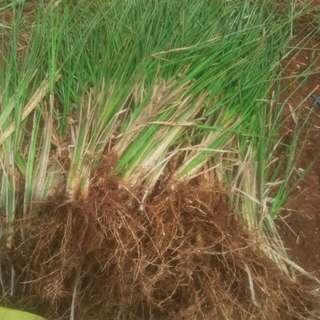 Rumput vetiver atau akar wangi pencegah longsor