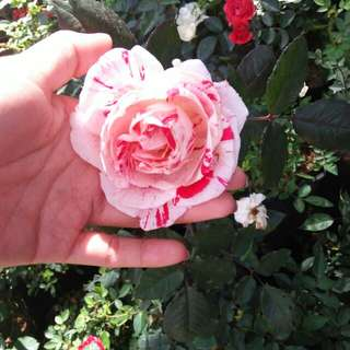 Two-toned Rose Plant