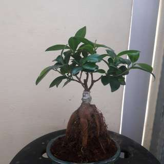 Ficus ginseng mini Bonsai