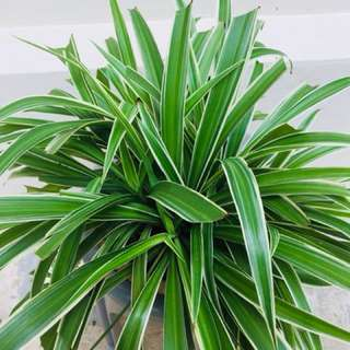 Spider Plant ( air Purifying Plant)