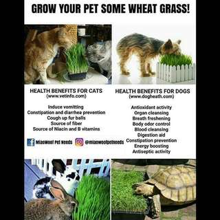 Wheat Grass for Dogs, Cats, Etc