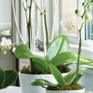 ORCHID WANTED: Green Fingers adopt CNY plants: give away Lunar 年花 plants orchids 胡姬花 / citrus 橘子/ flowering plants 收集二手花卉. Give Green Lives a chance to bless them a new home, free them to have a new lease of life. Senior agricultural collectors 年老者爱花者.