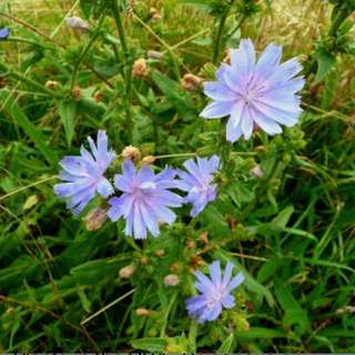Chicory (coffee substitute)