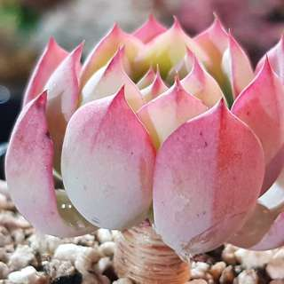 😍RARE SUCCULENTS: T034 - Pink Lotus (FIRST COME FIRST SERVE! VERY LIMITED STOCKS!)😱