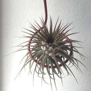 [READY STOCK!] Airplant | Tillandsia Rosita