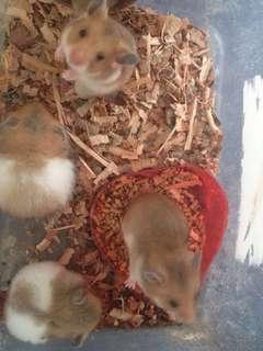 Hamster - GH