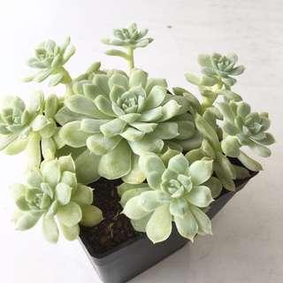 Succulent Echeveria Hughmillus Korean Quality Import