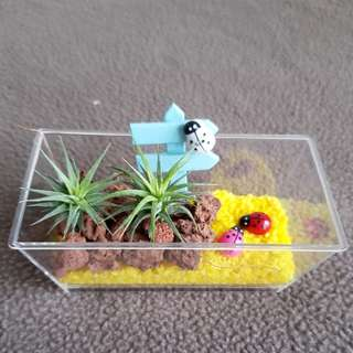 Air Plant For Office & Gift!