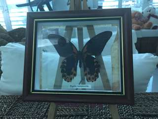 Preserved Real Butterfly Collection