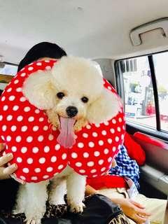 Stud Service Poodle (PCCI registered)