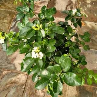 Murraya scented white flowers