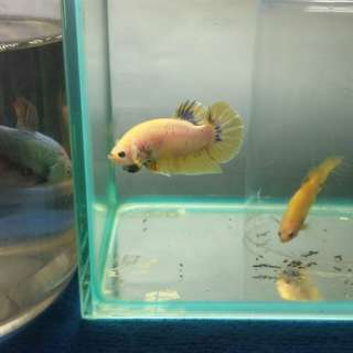 Betta Pakat fancy yellow male and female