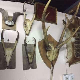 tanduk kijang,kambing ,kerbau,rusa,lembu