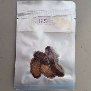 ECO-FRESH DUBIA ROACH 5PCS