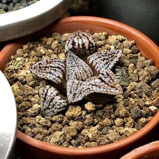 Haworthia Picta Seedling (Dark form)