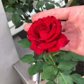 Roses for sale -- big flower petal plant