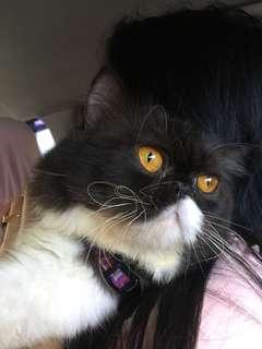 Kucing peaknose jantan