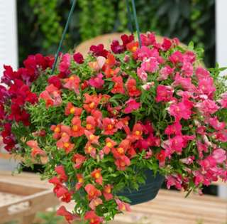 DwarfSnapdragon Antirrhinum Mix Colour Seeds